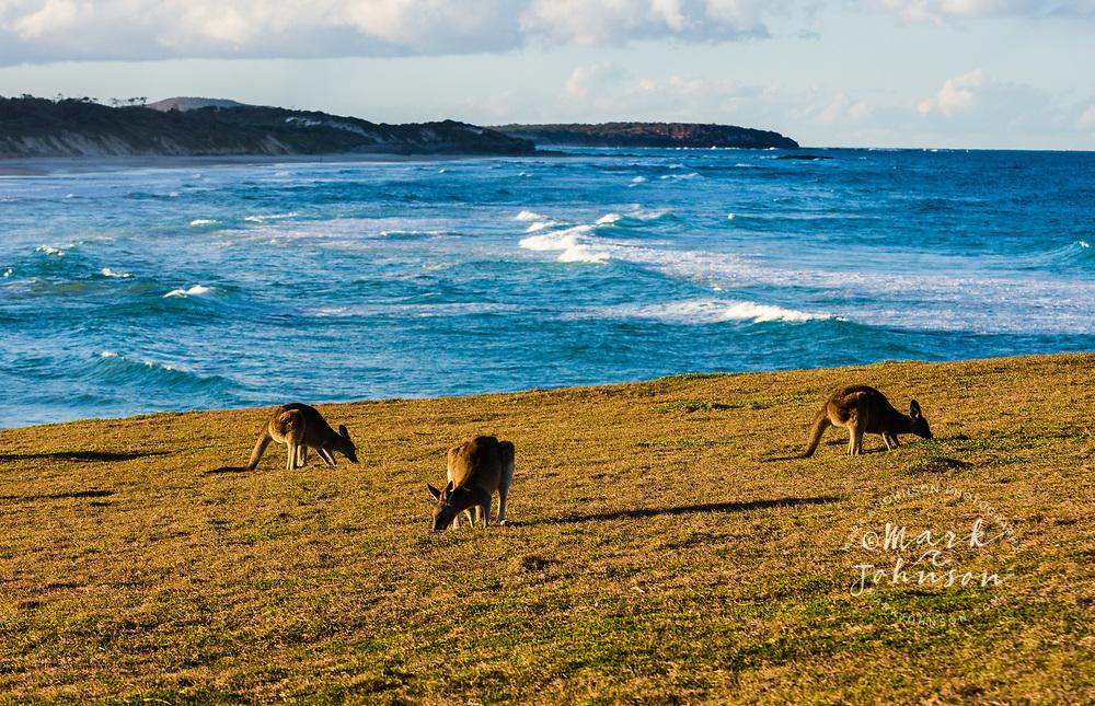 Kangaroos on Red Cliff, a seaside bluff in Yuraygir National Park, NSW, Australia