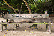 Galapagos Sealion (Zalophus wollebaeki) <br /> Puerto Villamil, Isabela Island, GALAPAGOS,  Ecuador, South America