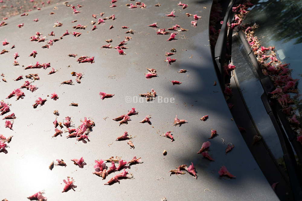tree flower petals on a the hood of a car