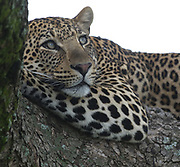 A leopard (Panthera pardus) relaxes on a branch of  a shady tree, as if posing for a portrait. Serengeti National Park, Tanzania.