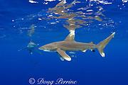 oceanic whitetip sharks ( Carcharhinus longimanus ) with pilot fish, ( Naucrates ductor ) Kona Coast, Hawaii Island ( the Big Island ) Hawaiian Islands ( Central Pacific Ocean )