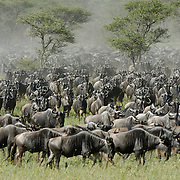 Wildebeest (Connochaetes taurinus) during migration near calving area in Serengeti National Park, Tanzania, Africa.