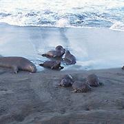 Northern Elephant Seal, (Mirounga angustirostris)  Pups gather at edge of beach early morning. California.