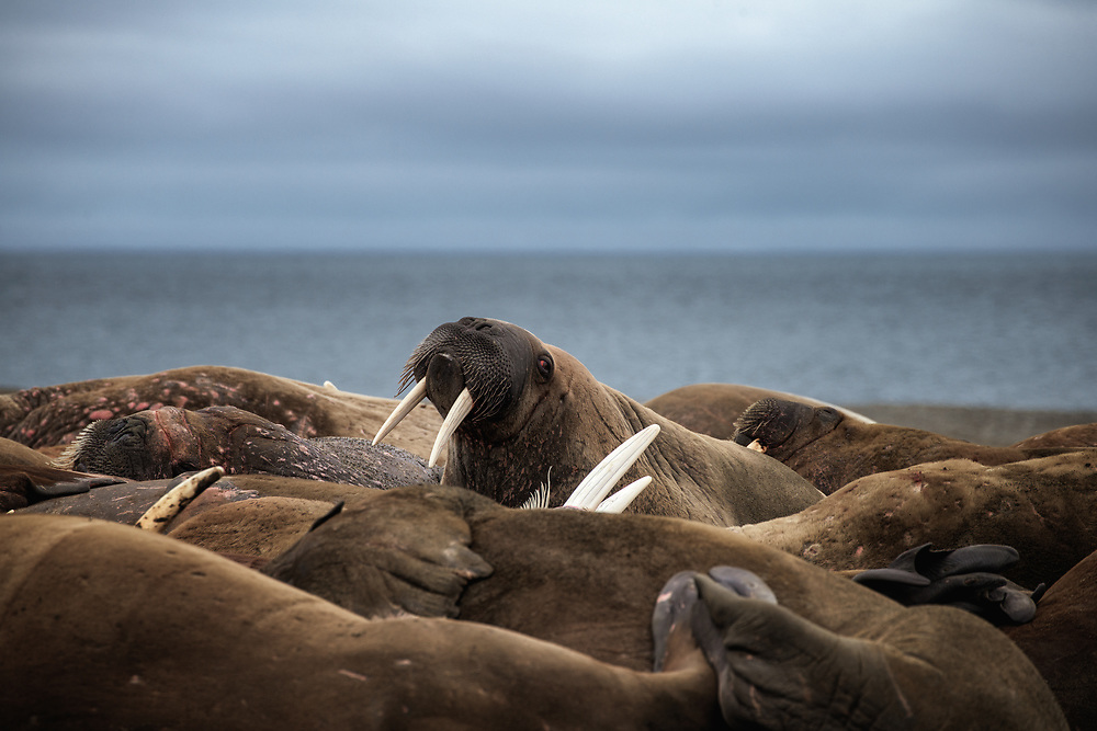 Walrus at  Prins Karls Forland, Spitsbergen