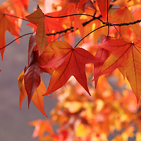 """""""Maple Leaf Zen"""" <br /> <br /> Brilliant Maple leaves dance in the sunlight on an autumn day!!<br /> <br /> Fall Foliage by Rachel Cohen"""
