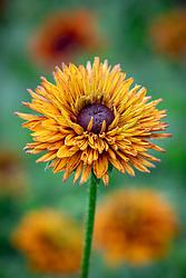 Rudbeckia hirta 'Sahara' - Black eyed susan, Coneflower, Gloriosa daisy