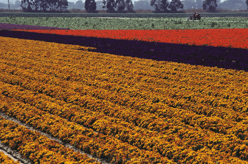 A tractor cultivating rows of flowers in Lompoc, California.