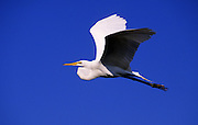 Image of a great white egret in flight at J. N. Ding Darling National Wildlife Refuge, Sanibel Island, Florida, American Southeast by Randy Wells