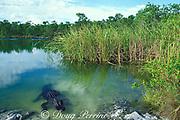 American alligator,<br /> Alligator mississippiensis, <br /> Big Pine Key, Florida