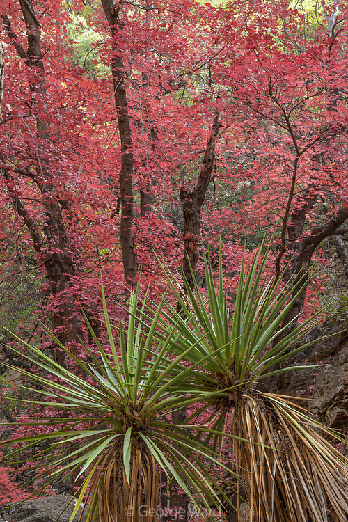 Mountain Yucca and Bigtooth Maple, Cave Creek Canyon, Chiricahua Wilderness, Coronado National Forest, Cochise County, Arizona