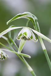 Galanthus nivalis f. pleniflorus 'Walrus'