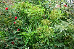 Euphorbia mellifera (Canary Spurge) AGM with Rosa 'Geranium' (moyesii hybrid) AGM