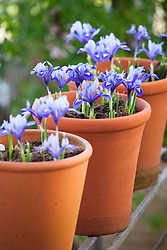 Iris reticulata 'Harmony' planted in a line of terracotta pots