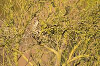 Sage Thrasher, Oreoscoptes montanus, in the Phoenix Mountains Preserve near Phoenix, Arizona