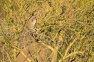 Sage Thrasher, Oreoscoptes montanus