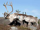Reindeer - Slakting Teveldal