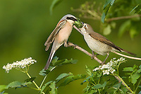 Red-backed Shrike, Lanius collurio, while courtship feeding, Neuntoeter bei der Balzgeschenkübergabe, near Nikopol, Bulgaria