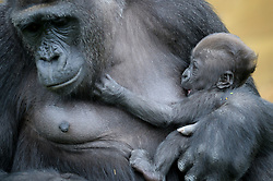 A baby Western lowland gorilla is cradled in the arms of her mother, Touni, at Bristol Zoo Gardens, where the keepers have revealed for the first time it's a baby girl and they are now appealing to the public to help name her.