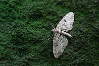 (Operophtera brumata) Winter Moth - Moth, Mullerthal trail, Mullerthal, Luxembourg
