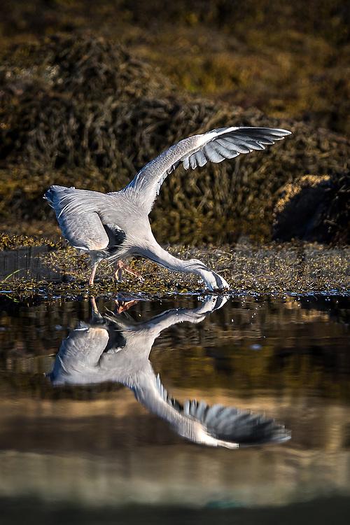 Gray Heron with head under water catching fish   Gråhegre med hodet under vann på let etter fisk.