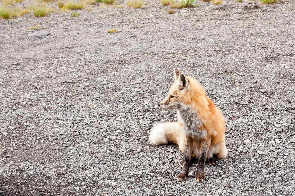 A Cascade Fox, a subspecies of Red Fox (Vulpes vulpes cascadensis) begging for food on the side of the road in Paradise Valley, Mount Rainier National Park, Washington