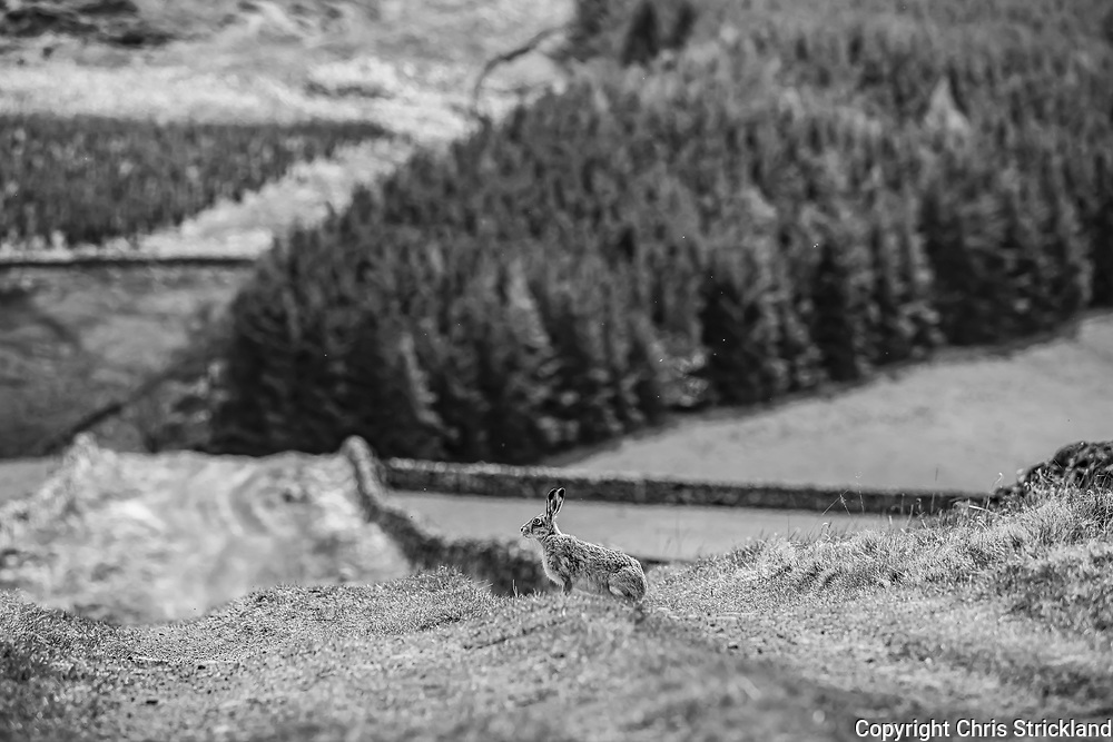 Hownam, Kelso, Scottish Borders, Scotland, UK. 11th May 2021. A brown hare on the Roman Road at Whitton Edge in the foothills of the Scottish Cheviots.