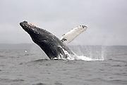 USA, Alaska, Chatham Strait, Humpback whale (Megaptera novaeangliae) breaching