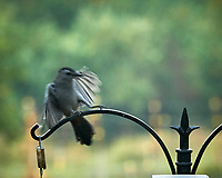 Grey Catbird. Image taken with a Nikon D850 camera and 200 mm f/2 VR lens.