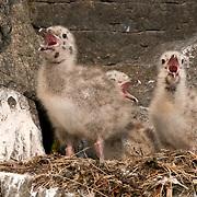 Herring Gull chicks in rookery, Nunavut Canada