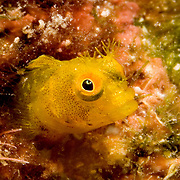 Roughhead Blennyu inhabit worm holes in dead coral rock  on or near reefs, perch with head and forebod extended Tropical West Atlantic; picture taekn Little Cayman.