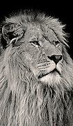 Portrait of a lion, panthera leo (toned black & white conversion) by Randy Wells