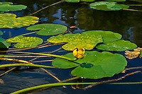 Lily pad images of the Altamaha River in Southeast Georgia