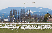 Snow Geese are typically seen in large flocks up to 55,000 in winter in western Washington, USA. Most gather in the Skagit River Delta (Skagit County) from mid-October to early May.