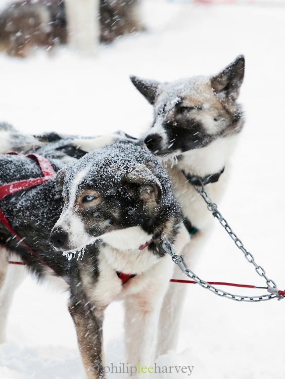 Alaskan huskies in harnesses wait in the snow to pull sled in Kirkenss, Finnmark region, northern Norway