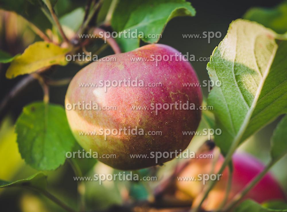 THEMENBILD - ein roter Apfel (Elstar) an einem Ast, aufgenommen am 05. August 2018, Kaprun, Österreich // a red apple (Elstar) on a branch on 2018/08/05, Kaprun, Austria. EXPA Pictures © 2018, PhotoCredit: EXPA/ Stefanie Oberhauser