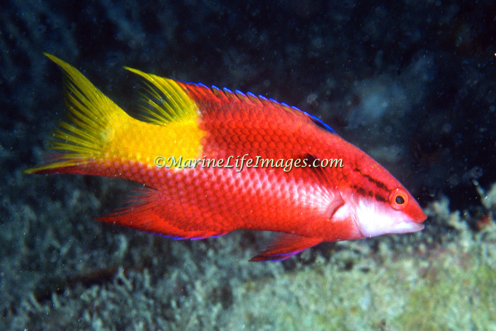 Spotfin Hogfish constantly swim about reefs in Tropical West Atlantic; picture taken Key Largo, FL.