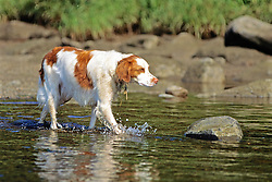 Brittany Spaniel In River