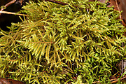 Lanky Moss: Loose, Irregular mats. Reddish stems. Appears spikey. Long, slender, curved point. Dominant groundcover & base of trees.
