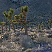 Joshua tree and Cholla Cactus grow in Joshua Flats, part of the Inyo Mountains of eastern California.