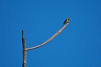 Olive-backed Sunbird (Nectarina jugularis)