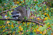 The raccoon, also known as the common raccoon, North American raccoon, northern raccoon and colloquially as coon, is a medium-sized mammal native to North America. The raccoon is the largest of the procyonid family, having a body length of 16 to 28in and a body weight of 8 to 20lb. Its grayish coat mostly consists of dense underfur which insulates against cold weather. Two of the raccoon's most distinctive features are its extremely dexterous front paws and its facial mask, which are themes in the mythology of several Native American tribes. Raccoons are noted for their intelligence, with studies showing that they are able to remember the solution to tasks for up to three years. The diet of the omnivorous raccoon, which is usually nocturnal, consists of about 40% invertebrates, 33% plant foods, and 27% vertebrates.<br /> The original habitats of the raccoon are deciduous and mixed forests, but due to their adaptability they have extended their range to mountainous areas, coastal marshes, and urban areas, where some homeowners consider them to be pests. As a result of escapes and deliberate introductions in the mid-20th century, raccoons are now also distributed across the European mainland, the Caucasus region and Japan.<br /> Though previously thought to be solitary, there is now evidence that raccoons engage in gender-specific social behavior. Related females often share a common area, while unrelated males live together in groups of up to four animals to maintain their positions against foreign males during the mating season, and other potential invaders.