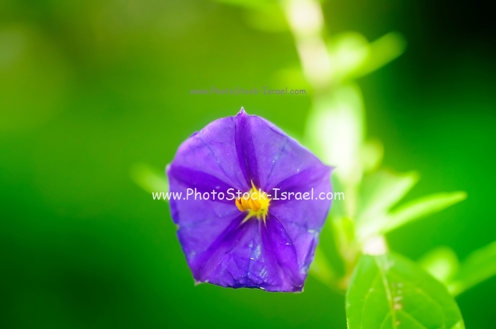 Selective focus of a Blooming purple garden flower with green background