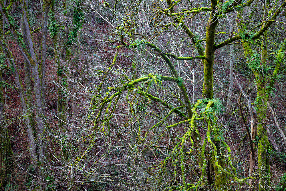 Bright green moss engulfs a tree in a ravine on Rucker Hill in Everett, Washington.