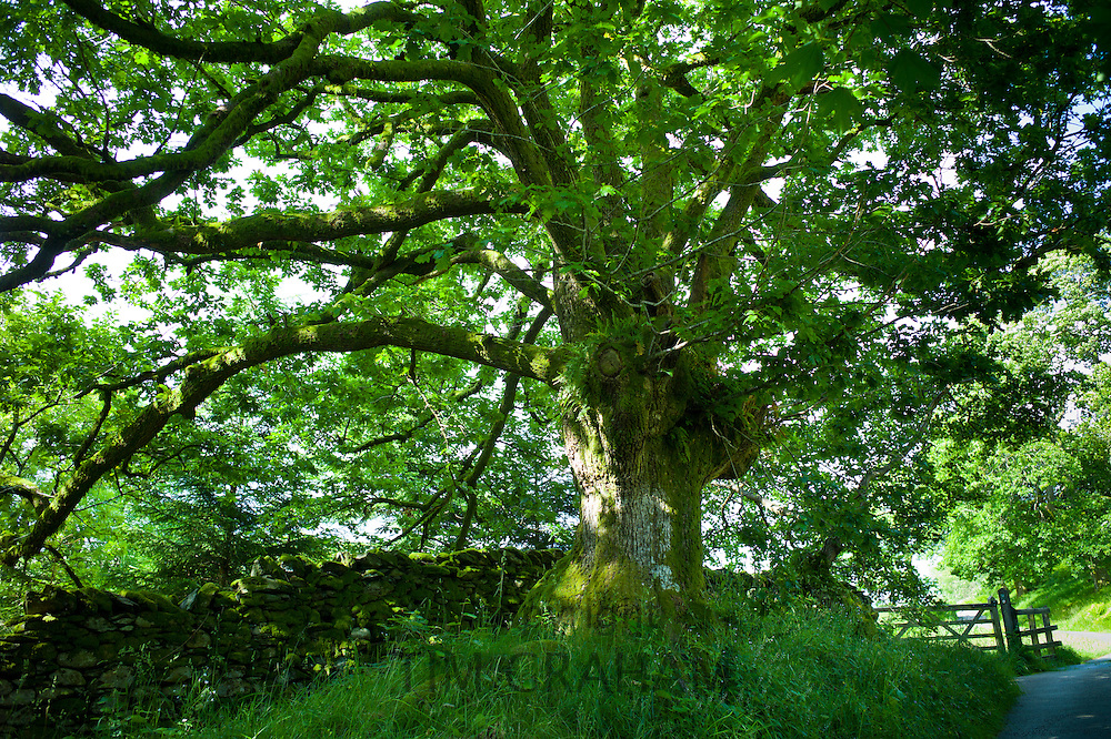 Ancient oak tree in woodland in Stockghyll Woods, Ambleside in the Lake District, Cumbria, UK
