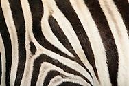 """Damara-Zebra (Equus burchellii antiquorum) Damara-Zebra is a plain zebra, belongs the horse family. Its habitat is the savanna and semi-deserts of Africa. The coloring of the plain zebras is locals as well as individualley very different. Depending on local race the color of the stripes is different from varnish black to dark reddish brown, the bright ground color from clear white to riddish brown. Some have shadow stripes between the black and white coloring. The subspecies of the plains zebra differ in the striped pattern, which serves as camouflage. A black and white mane extends from the head to the withers. Zebra youngs have a more brownish and fluffy thick coat that changes in a few weeks in the striking white with black stripes. The typical zebra short, erect mane is on the foals still rumpled in all directions. Frankfurt am Main, Hesse, Germany.This picture is part of the series """"Creature's Coiffure""""..Damara-Zebra (Equus burchellii antiquorum) Das Damara-Zebra ist ein Steppenzebra und gehoert zu der Familie der Pferde. Sein Lebensraum sind die Savannen und Halbwuesten Afrikas. Die Faerbung der Steppenzebrarassen ist oertlich sowie auch individuell ausserordentlich verschieden. Die Keulenzeichnung aber reicht immer weit auf die Koerperseiten hinaus. Je nach lokaler Rasse unterscheidet sich die Farbe der Streifung von lackschwarz bis dunkelrotbraun, die helle Grundfarbe von klarweiss bis roetlich braun. Dabei zeichnet sich das Fell durch ,,Schattenstreifen"""" aus, die manchmal die weissen Streifen ueberlagern. Die Unterarten des Steppenzebras unterscheiden sich im Streifenmuster, das wegen seiner gestaltaufloesenden Wirkung als Tarnung dient. Eine schwarz-weisse Maehne erstreckt sich vom Scheitel bis zum Widerrist. Zebra-Jungtiere haben im Gegensatz zu ihren Eltern ein eher braeunliches und flauschig dickes Fell, das erst in einigen Wochen in das markante Weiss mit schwarzen Streifen wechselt. Auch die für Zebras typische kurze, aufrecht stehende Maehne ist bei"""