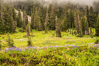 One of the most beautiful places I've been to in the State of Washington, and well worth the long climb and hike on the northern side of Mount Rainier National Park - this subalpine meadow opens up as one just reaches the highest point where the forest gives way to open meadowlands.