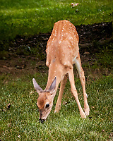 Fawn with spots eating grass. Image taken with a Nikon 1 V3 camera and 70-300 mm VR lens (ISO 800, 94 mm, f/4.8, 1/100 sec).