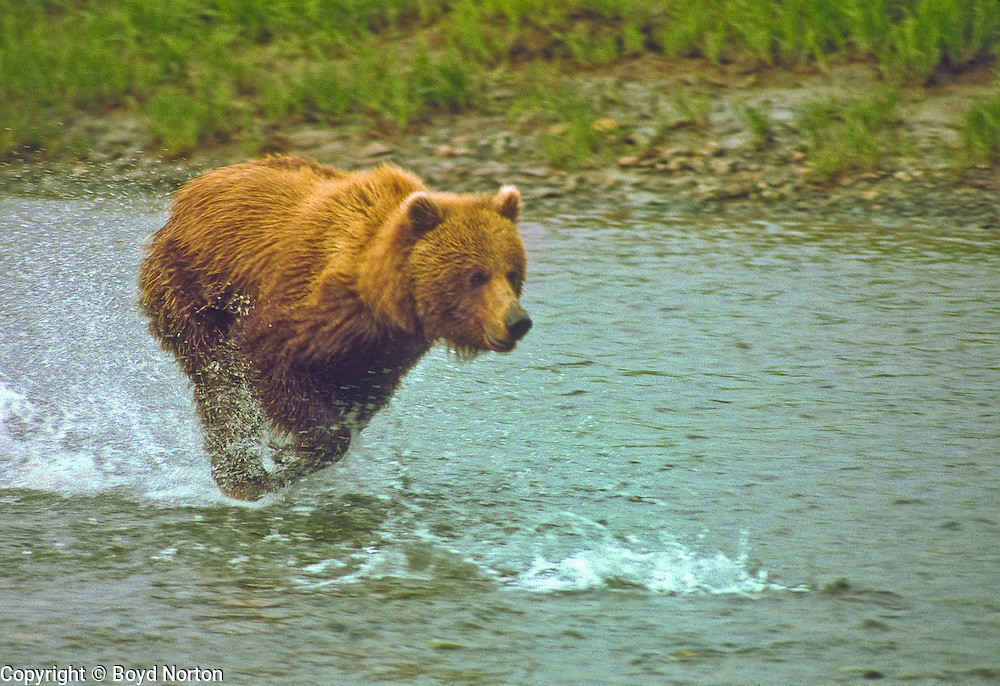 Grizzly bear (brown bear), chasing salmon in river, McNeil River State Game Sanctuary, Kamishak Bay, Alaska. Endangered species. Climate change affecting migration of salmon, primary food source for these bears.