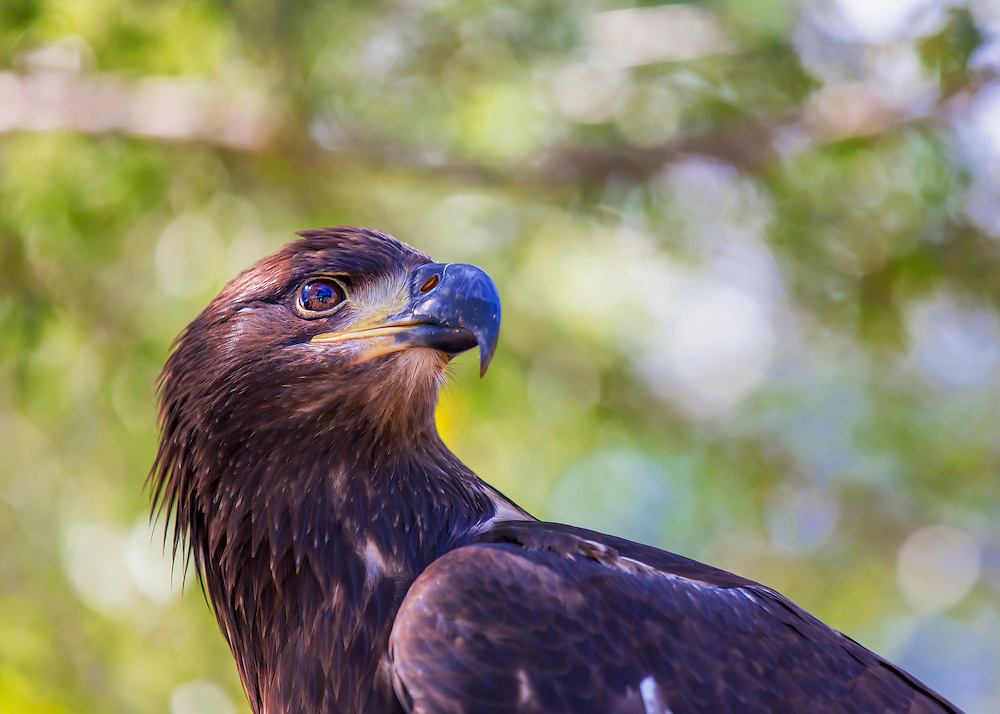 This immature bald eagle with was hurt and can no longer fend for its self so it lives at Sea World and is helping educate people about the lives of Bald Eagles.