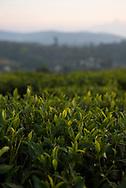 Close-up view at sunset of tea leaves growing on a tea plantation outside Nuwara Eliya, Sri Lanka